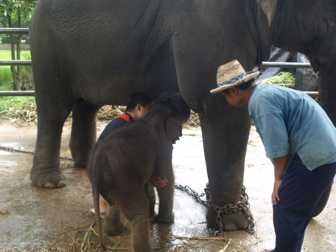 Baby Elephant Gem