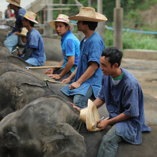 Mahouts riding their elephant art elephants at Mae Taeng Elephant Camp they do trekking, painting and other activities